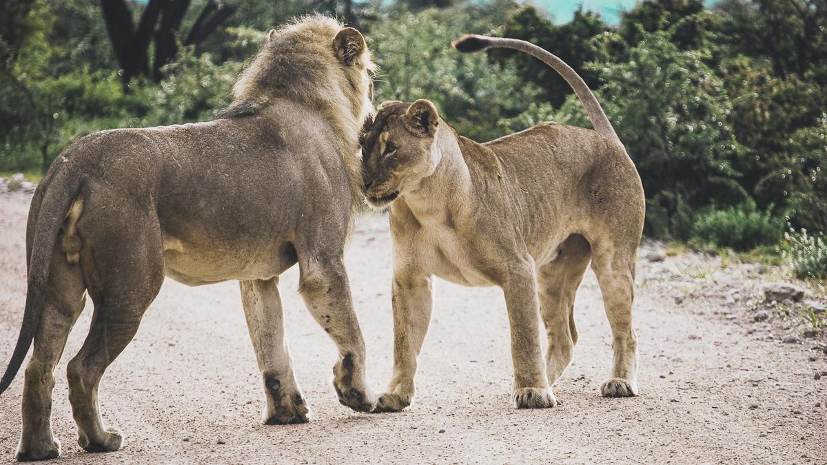 Flirting lions